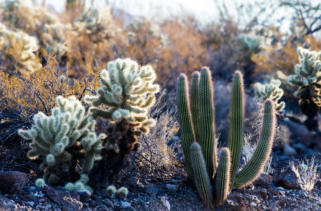 Organ Pipe Cactus And Friend